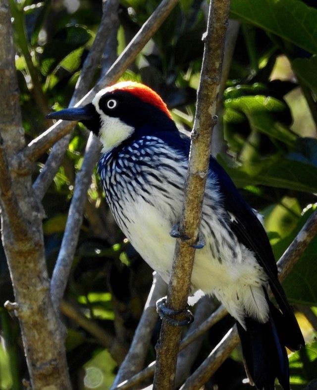 AcornWoodpeckerDSCN5161
