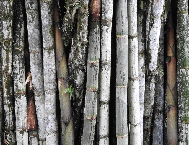 BambooDSCN4707
