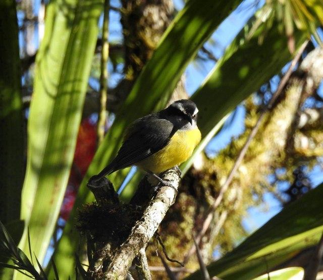 BananaquitDSCN4954