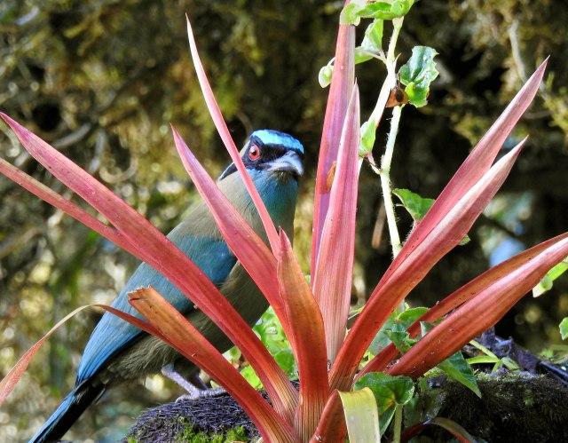Blue-crownedMotmotDSCN4907