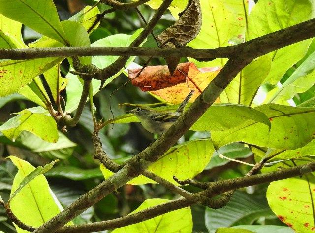 Chestnut-sidedWarblerBaruDSCN4301