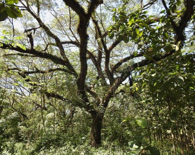 ForestTree&TeaksDSCN4060
