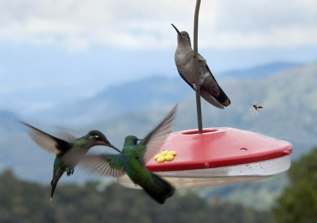Hummingbirds@FeederDSCN5482