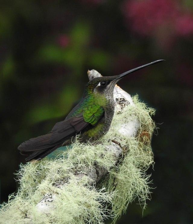 MagnificentHummingbird(F)DSCN5481