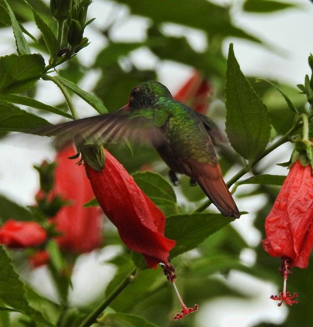 Rufous-tailedHummingbirdBARUDSCN4331