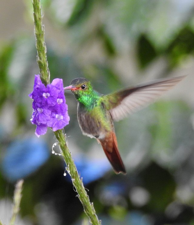 Rufous-tailedHummingbirdDSCN4983