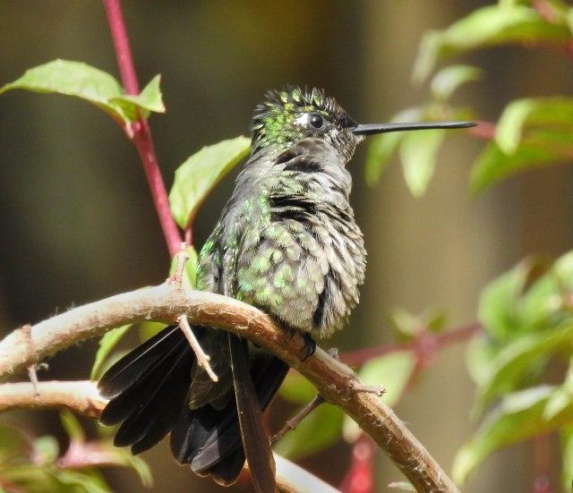 Rufous-tailedHummingbirdDSCN5218