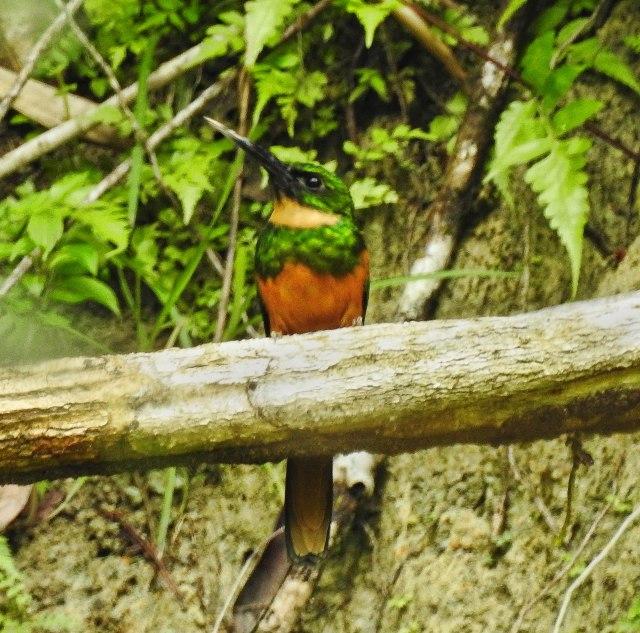 Rufous-tailedJacamarDSCN4458