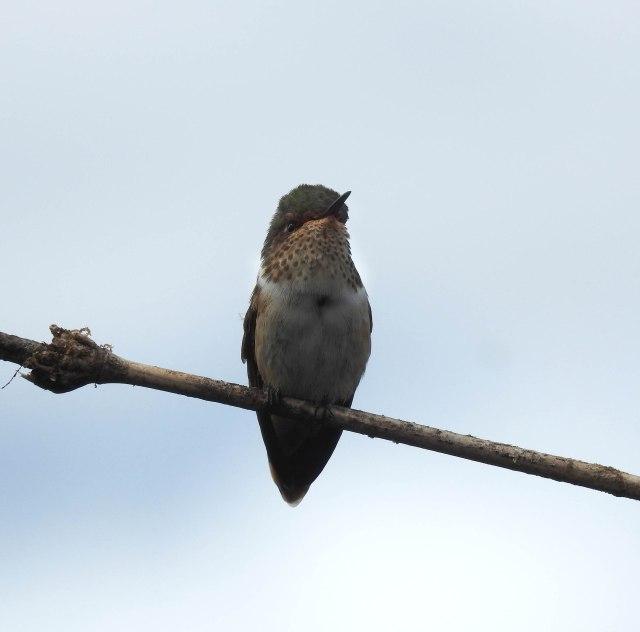 ScintillantHummingbird(F)DSCN5491