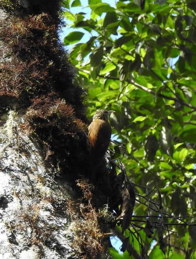 Spot-crownedWoodcreeperDSCN5189