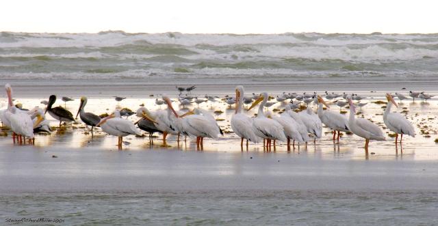 pelicansriogrande51