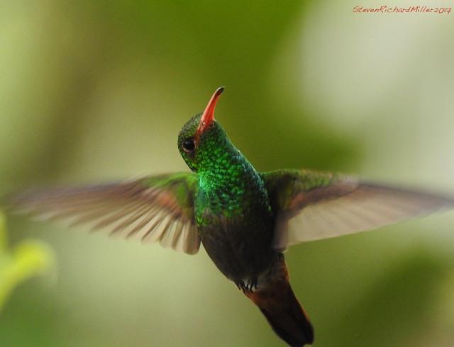 Rufous-tailedHummingbirdDSCN0025.jpg