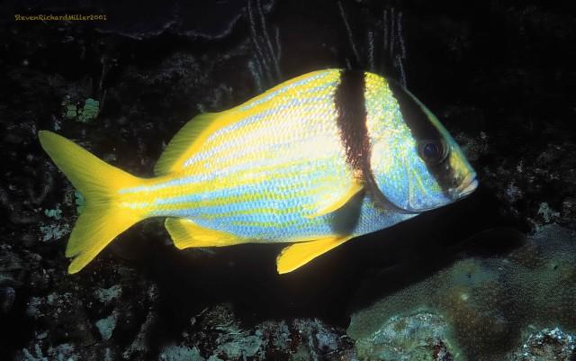 AkumalPorkfish#24'01