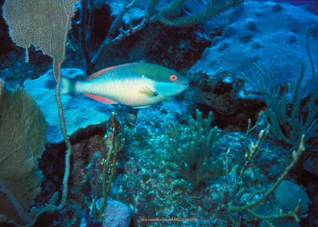 AkumalRedBandParrotfish