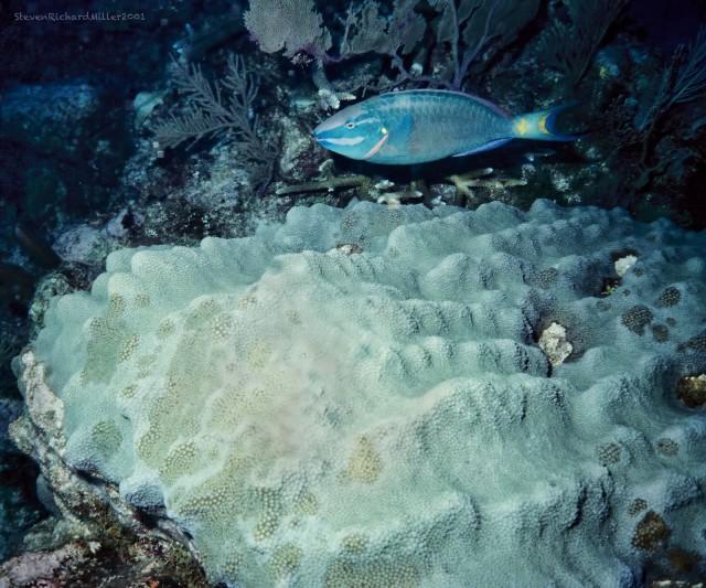 AkumalStoplightParrotfishMountainousStarCoral