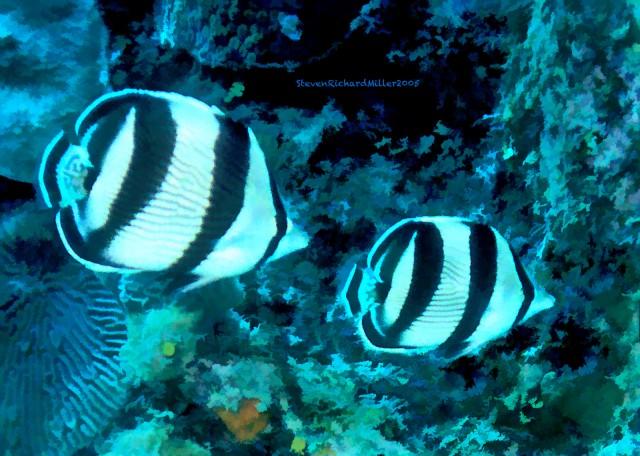 BandedButterflyfish#36'05T