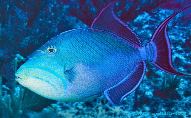 QueenTriggerfish