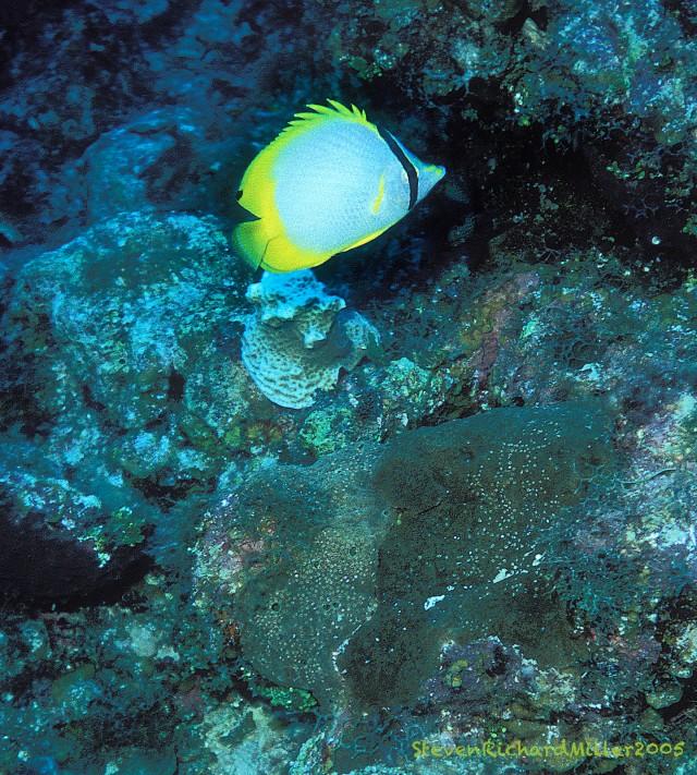 SpotfinButterflyfish#35'05