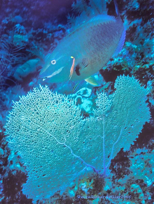 StoplightParrotfishSeaFan#36'05T