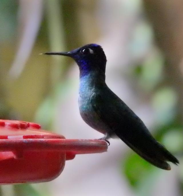 Violet-headedHummingbirdXDSCN2537.jpg