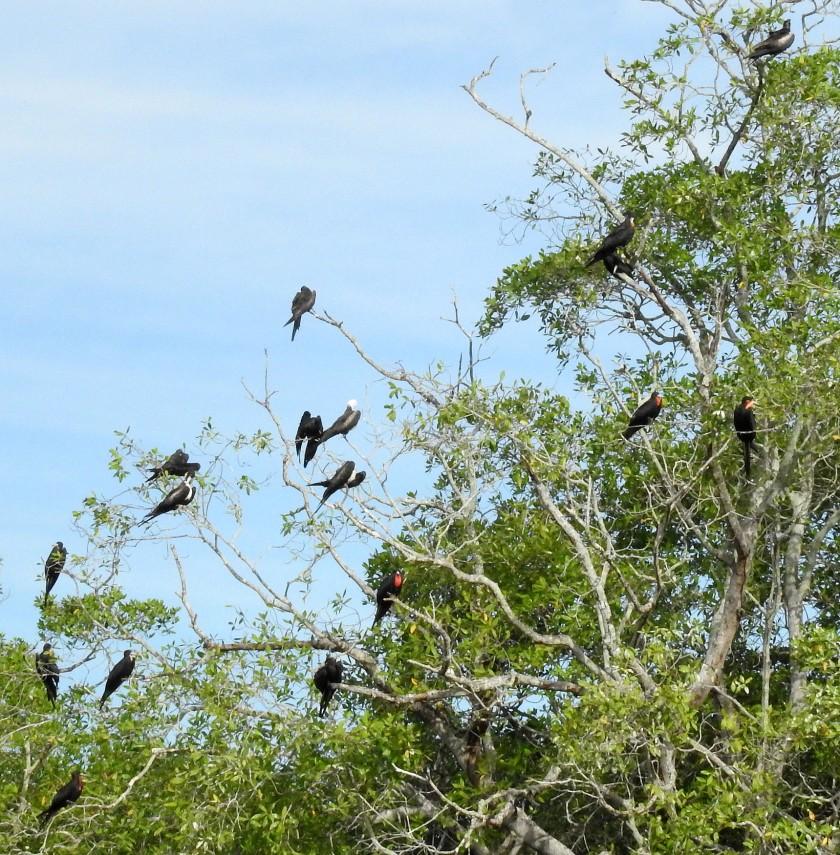 FrigatebirdsDSCN3445.jpg
