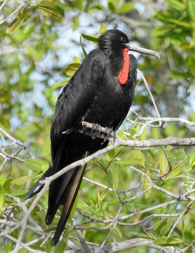 FrigatebirdXDSCN3444.jpg