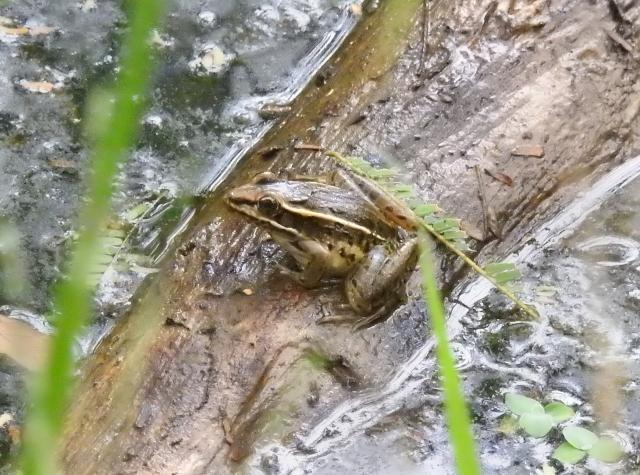 FrogDSCN3538.jpg