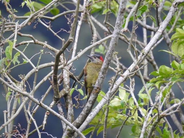 Golden-oliveWoodpeckerXDSCN3233.jpg