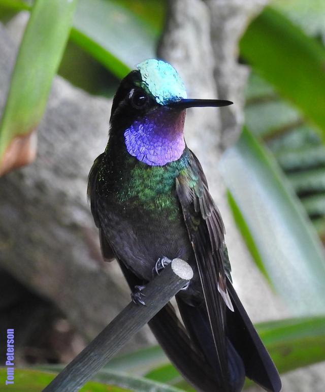 Purple-throatedMountain-gem2019,11,03 (39).jpg