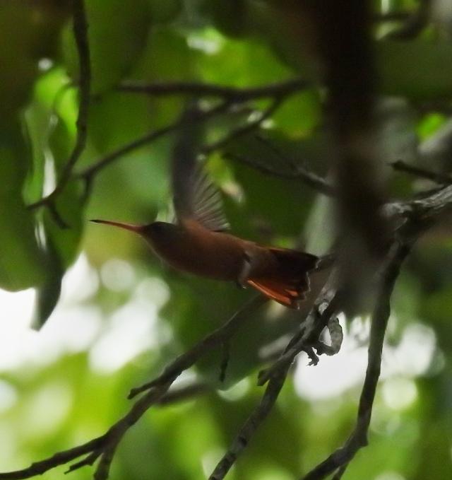 Rufous-tailedHummingbirdXSCN3388.jpg
