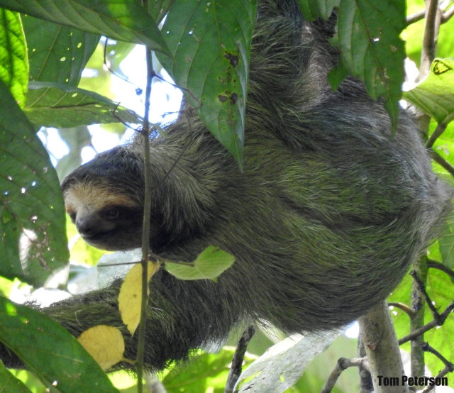Sloth TP 2019,11,04 (65).jpg
