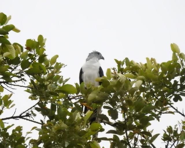 White-tailedKiteXDSCN3007.jpg