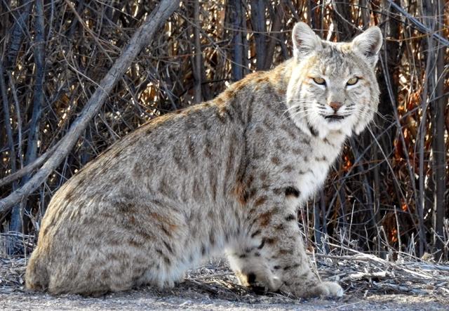 Bobcat900DSCN4696.jpg